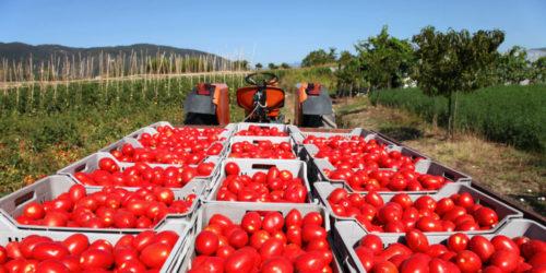 pomodori-caporalato