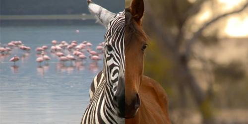 zebra-o-cavallo